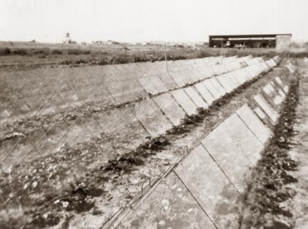 חלקת תות שדה במשק זלינגר