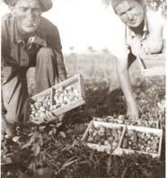 איסוף תות השדה בחלקה של פבזנר